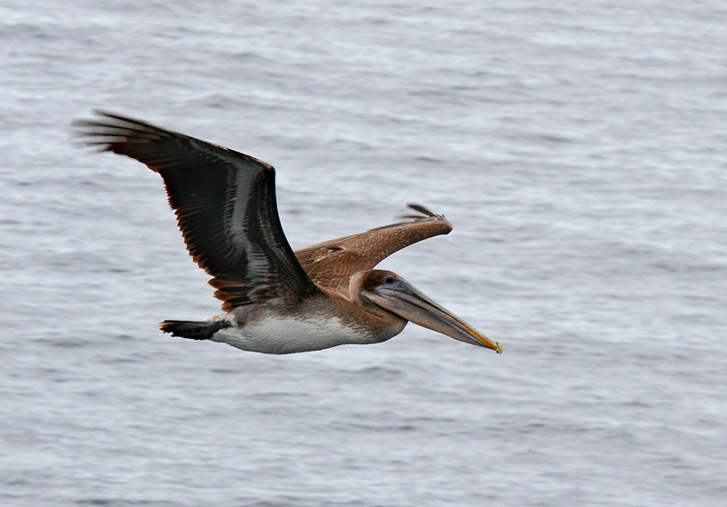 068 Pelican in Flight
