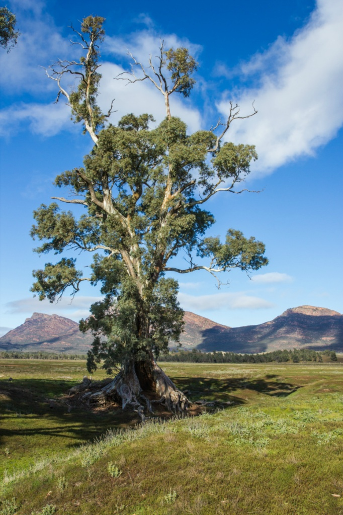 The Cazneaux Tree